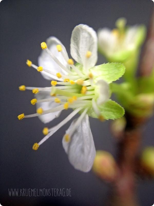weiße Kirschblüte (01)