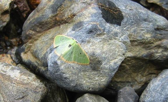 Geometridae ; Geometrinae : Lissochlora sp. Sur la route de Coroico, près des cascades de Sacramento Alto (2700 m). Bolivie, 11 janvier 2004. Photo : Peter Møllmann
