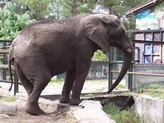 2006.09.01-047 éléphant d'Afrique