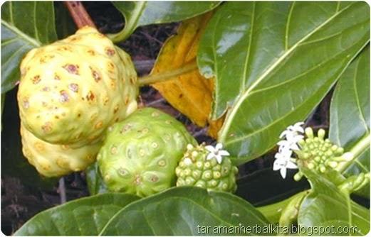 buah mengkudu.jpg