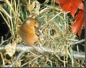 Harvest Mouse nest (internet)