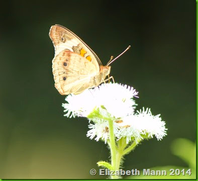 42-common buckeye side view
