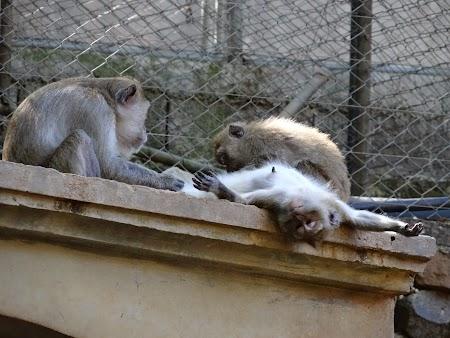 Masaj la maimute