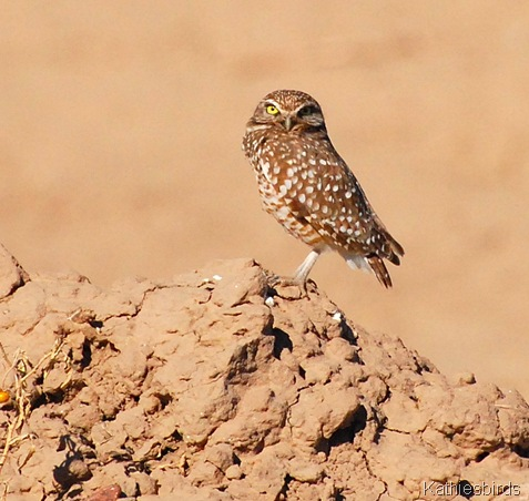 12. burrowing owl-kab