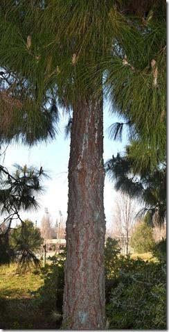 Tronco Pinus Canariensis
