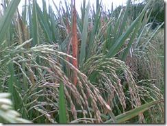 anakan-produktif-tanaman-padi