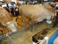 2015.02.26-060 vache blonde d'Aquitaine