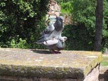 Дори и гълъбите се наслаждават