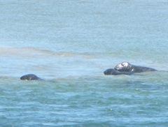7.30.12 Chatham light beach seal near sand bar5