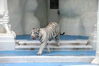 White Tiger at MGM