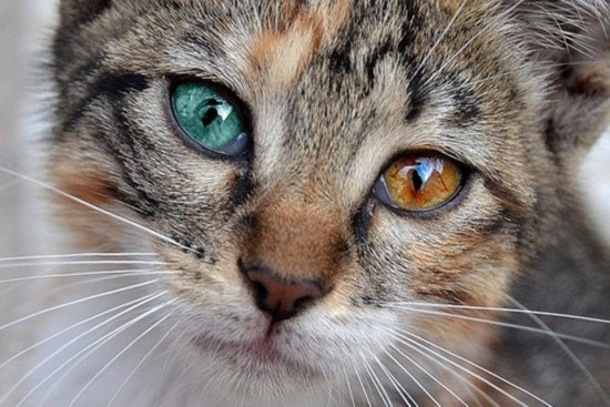 Heterochromia Iridis in Cats