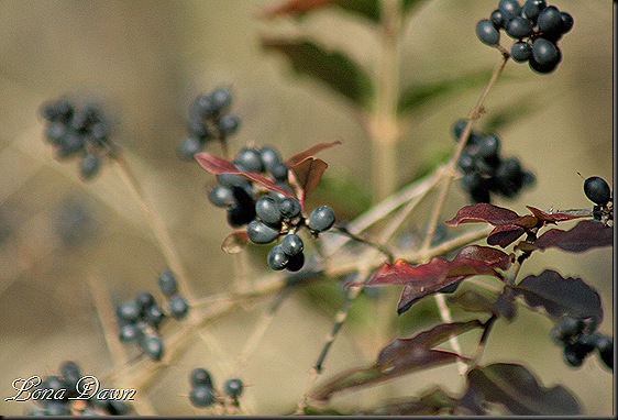 Fall2_BlackhawBerries
