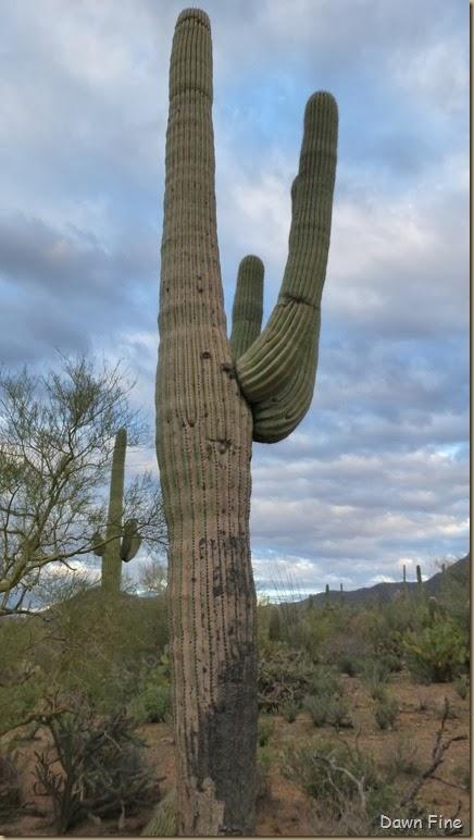 Saguaro NP West_075