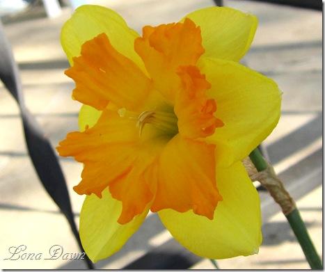 Daffodil_Centannees