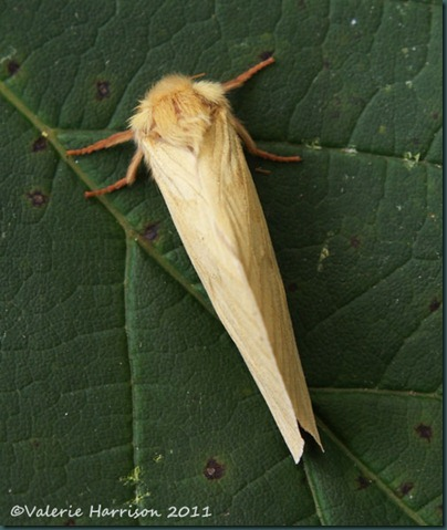 ghost-moth-female-top