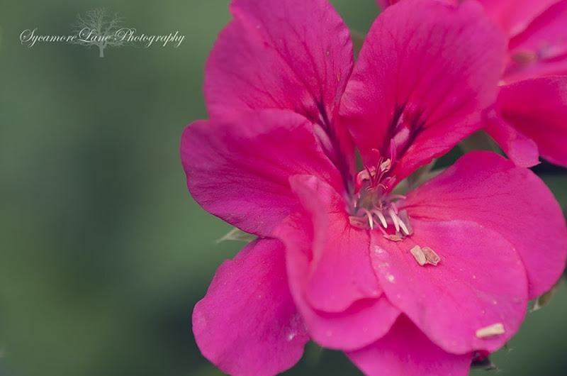 Geranium-SycamoreLane Photography