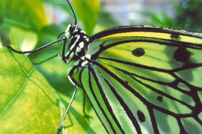 green+butterfly+500.jpg