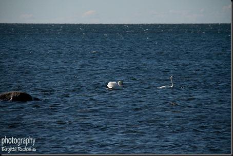 birds_20120407_swans