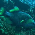 Titan-Drücker-Fisch an Putzstation, Komodo