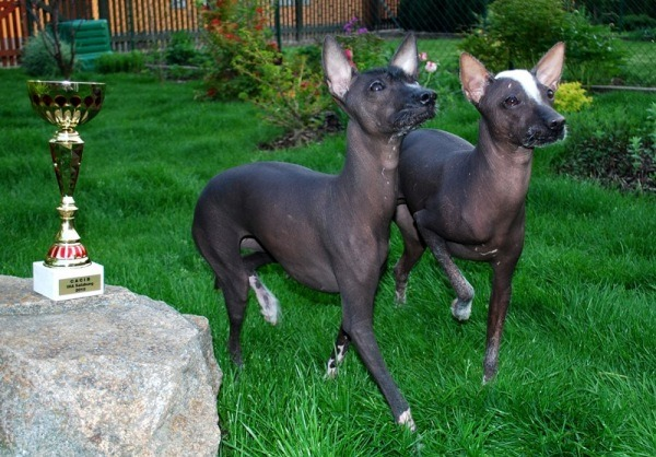 hairless champion dogs