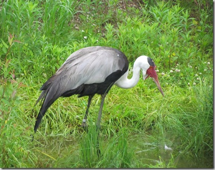 bar_icf_wattled_crane