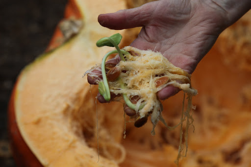 Look at that!  Some of the seeds are already sprouting inside the pumpkin!  How is that even possible?
