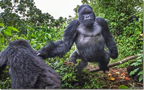 0_CATERS_GORILLA_PUNCH_01-800x498