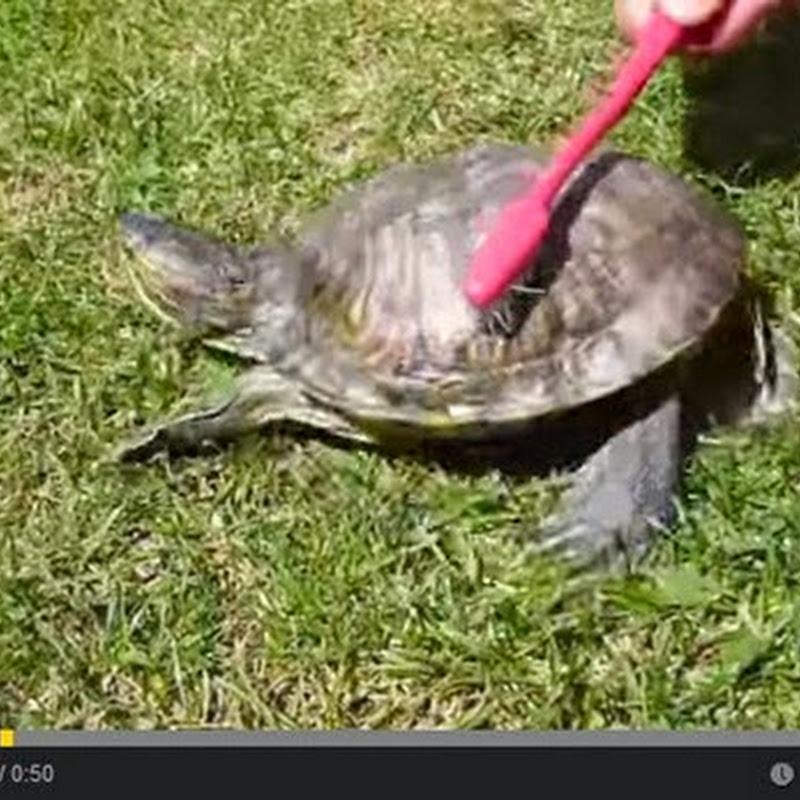 Χελώνα χορεύει satisfaction