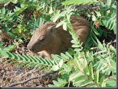 LL capybara baby