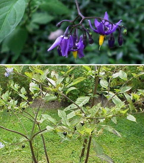 7-wonders-flowers-belladonna-deadly-nightshade