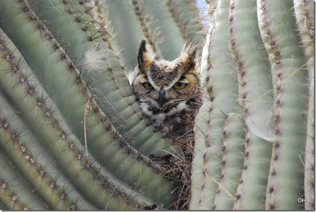 02-27-14 A Great Horned Owl Casa Grande (191)