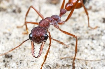The black bulldog ant