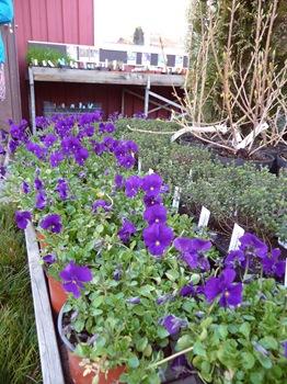 011 korr Viola cornuta Martin Daniel Grankvist