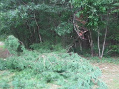2011 Hurricane Irene downed pine branch