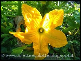 Fiore di zucca (2)