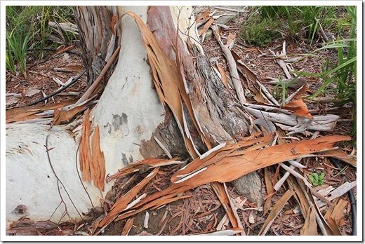 111015_Santa-Cruz_UCSCA_Eucalyptus-rubida_03
