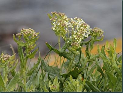 10-Hoary Cress (Lepidium draba)