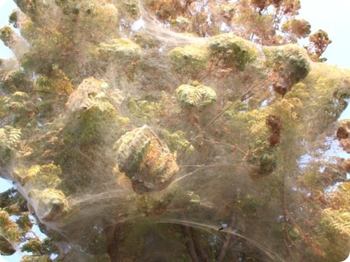 Spider cocoons in Sindh 6