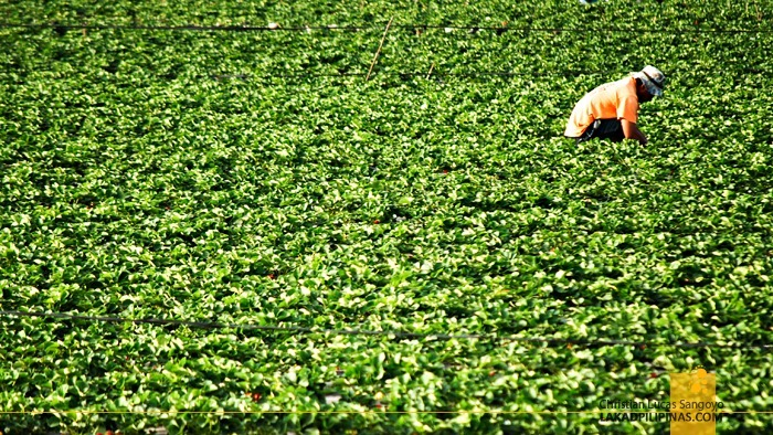 A Farmer Harvesting at La Trinidad's Strawberry Farm