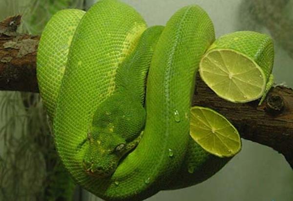 snake serpent