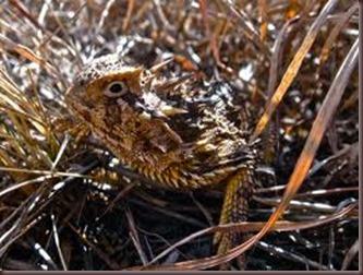 Amazing Pictures of Animals, photo, Nature, exotic, funny, incredibel Zoo, Horned lizard, Phrynosoma, Reptilia, Alex (23)
