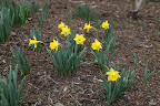 The name Narcissus comes from Greek mythology.  Narcissus was a young man so obsessed with his own looks that upon catching his reflection in a pool, he couldn't leave.