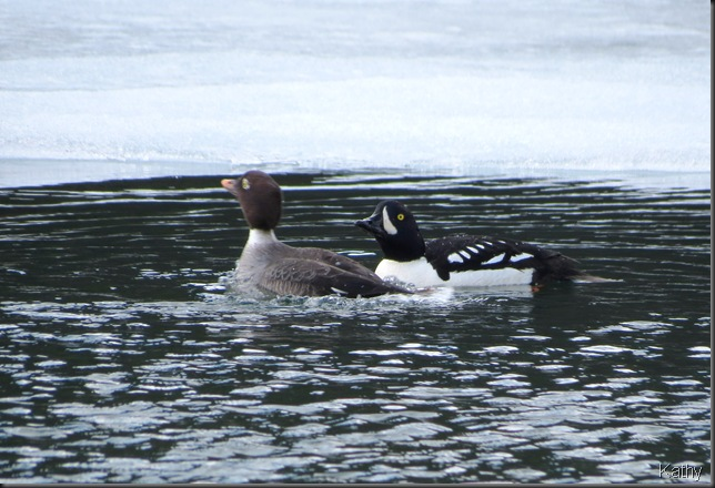 Courting Goldeneyes