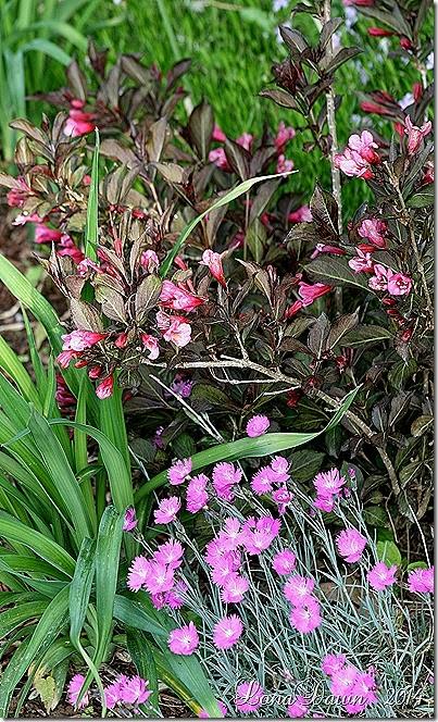 Weigela Wine Roses _Briiliant Dianthus