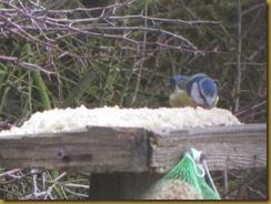 IMG_5439 Twinkles birdtable