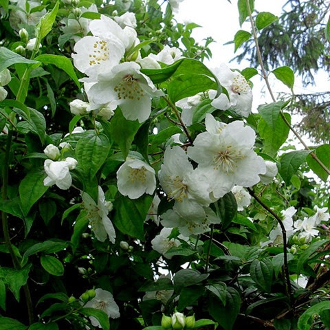 philadelphus - mock orange (belle etoile)