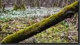 leucoion Knotenblumen Riedholz Schwebheim
