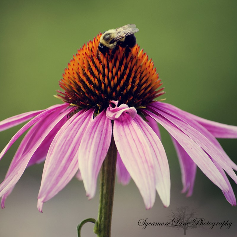 Coneflower-bee-w-SycamoreLane Photography