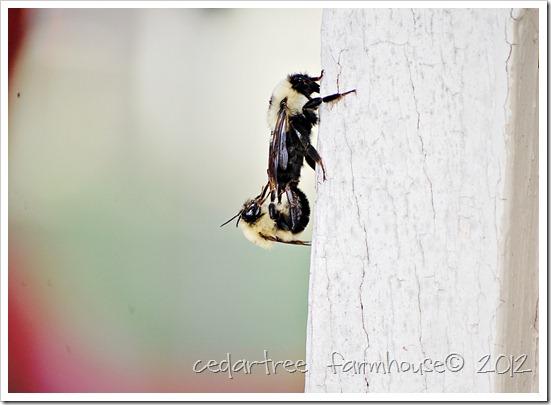 mating bees