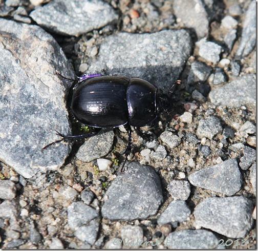 13-dor-beetle